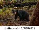 Wild Sloth Bear  Melursus...