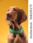 Stock photo young vizsla pointer dog portrait on colored background 568230175