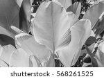 close up cigar leaf black and... | Shutterstock . vector #568261525