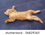 Stock photo kitten sleeps on the back like a log 56829265