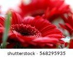 Red Gerbera Daisy  Macro
