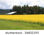 Beautiful farm in Montana with vibrant yellow goldenrod crops growing in the fields - stock photo