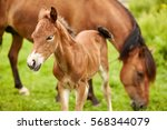 Brown Horse And Brown Foal On...