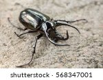 Big Horned Beetle