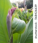 Small photo of Flower of Canna indica (family: cannaceae, class: liliopsida)