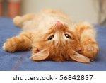 Stock photo kitten lying on the back on sofa 56842837
