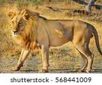 A Large Male Lion With Full...