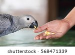 Small photo of African gray parrot to eat food from woman hand feeding.