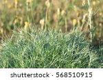 wormwood  natural background | Shutterstock . vector #568510915