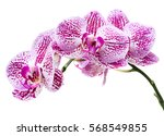 orchid flowers isolated on... | Shutterstock . vector #568549855
