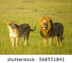A Lion Couple Standing On The...