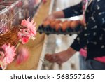chicken farm  poultry | Shutterstock . vector #568557265