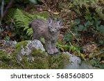 eurasian lynx   Shutterstock . vector #568560805