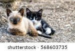 Stock photo siamese kitten sitting next to black and white kitten looking at camera focus on siamese 568603735