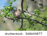 Morning Dove Perched In Tree