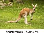 Red Kangaroo  Macropus Rufus