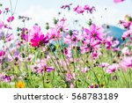 beautiful cosmos flowers ... | Shutterstock . vector #568783189