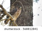 Beautiful Young Red Tail Hawk...