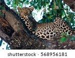 A Beautiful Female Leopard I...