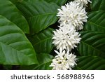 coffee tree blossom with white... | Shutterstock . vector #568988965