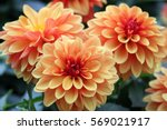 Stock photo dahlia flower are colorful and orange 569021917