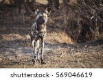 African Wild Dog In The Veld