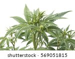 cannabis plant isolated on white | Shutterstock . vector #569051815