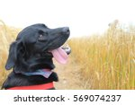 Stock photo dog in wheat field looking back with tongue hanging out 569074237