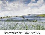Flax Field In Wiltshire  Uk.