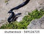 close up of a dangerous black... | Shutterstock . vector #569126725