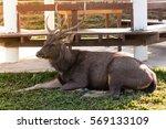 Small photo of Male Eld deer (Rucervus eldii)