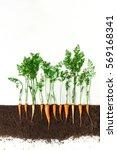 carrot grow in ground  cross... | Shutterstock . vector #569168341