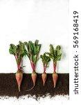 beetroot grow in ground  cross... | Shutterstock . vector #569168419