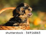 Stock photo yorkshire terrier puppy weeks plays in the garden 56916865