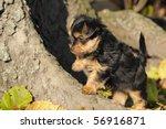 Stock photo yorkshire terrier puppy weeks plays in the garden 56916871