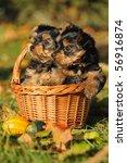Stock photo yorkshire terrier puppy weeks plays in the garden 56916874