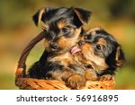 Stock photo yorkshire terrier puppy weeks plays in the garden 56916895