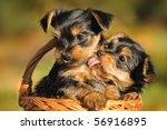 Stock photo yorkshire terrier puppy weeks plays in the garden 56916895
