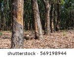 rubber tree in spring | Shutterstock . vector #569198944