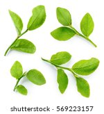 blueberry leaves isolated on... | Shutterstock . vector #569223157