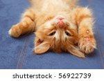 Stock photo kitten lying on the back like a log 56922739
