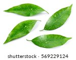 Stock photo citrus leaves with drops isolated on a white background collection full depth of field 569229124