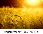 Barley Field In Golden Glow Of...