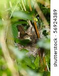 Small photo of Nest of the Blyth's Reed Warbler , Acrocephalus dumetorum.