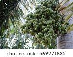 Small photo of foxtail palm fruit Wodyetia bifurcate on tree.