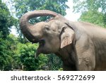 Asian Sumatran Elephant Side...