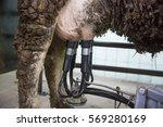 Small photo of Milking machine on cow udder. Farming technology, agribusiness, industrial production, animal rights concept.