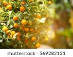 orange grove | Shutterstock . vector #569282131