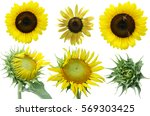 Sunflowers Isolated  Flower Di...