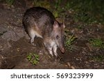 southern brown bandicoot    | Shutterstock . vector #569323999